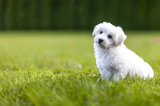 41 Best Small Dog Breeds With Pictures 2020 Merchdope