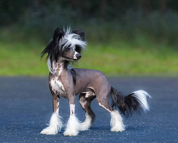 Both Varieties Of The Chinese Crested Breed Hairless Or Powderpuff Shed Minimally And Are Excellent Pets For Apartments Where People With Dog Allergies