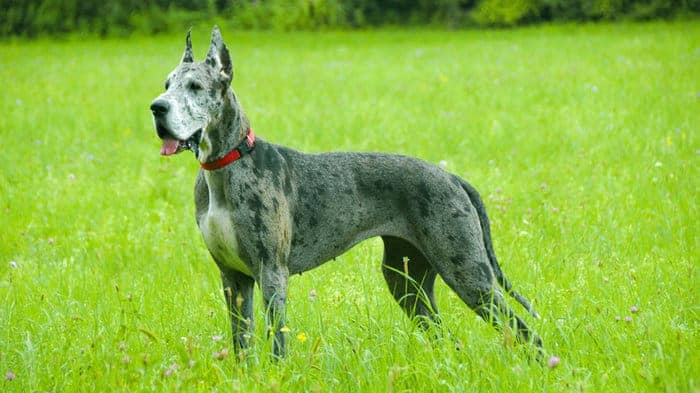The Great Dane Is Widely Considered As Largest Dog Breed And While It Not Heaviest Of Dogs 100 120 Lbs Definitely Among