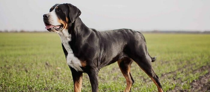 25 Largest Dog Breeds - 2019