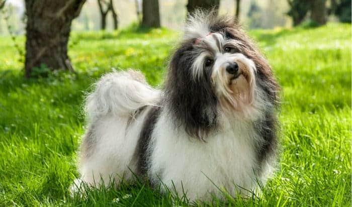 41 Best Small Dog Breeds with Pictures – 2019 - MerchDope