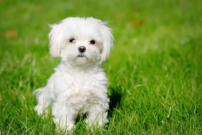 These Gorgeous White Fluffy Dogs Will Actually Shed Very Little Hair On Your Furniture And Clothes