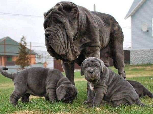 Neapolitan Mastiff Mix Puppies For Sale