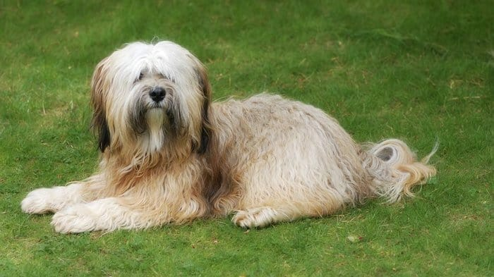 Dogs That Don T Shed 20 Hypoallergenic Dog Breeds In